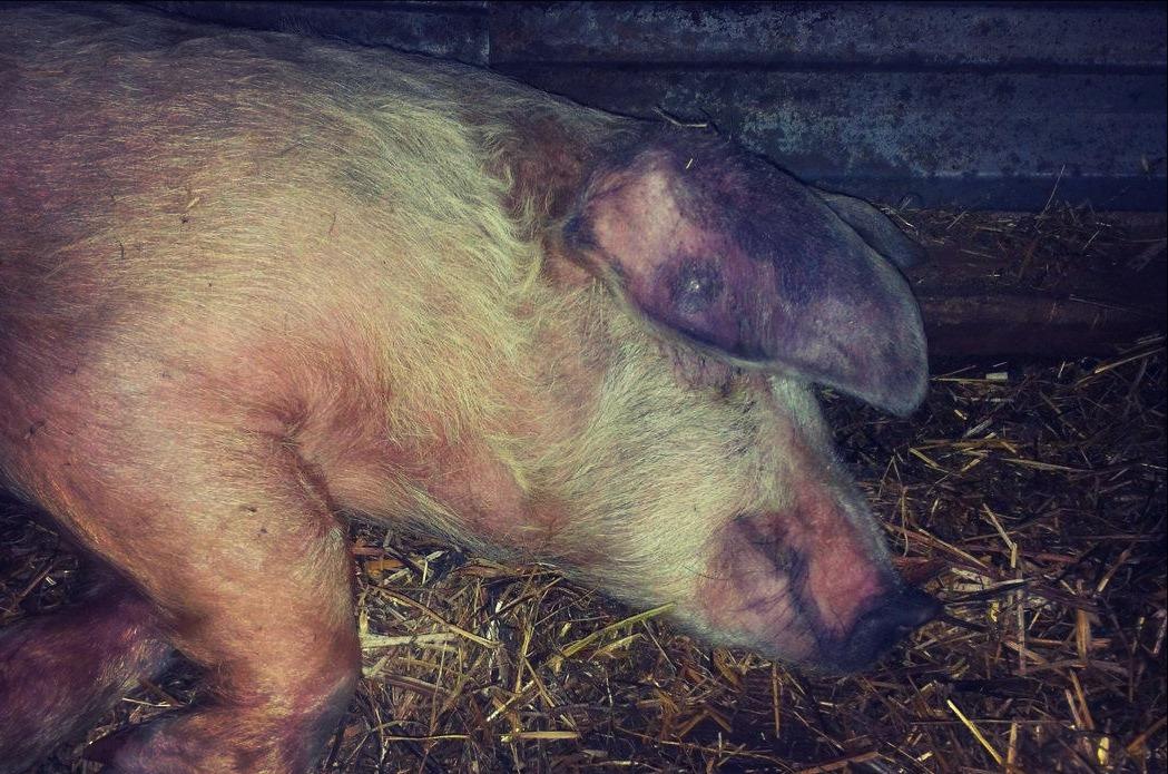 РРСС свиней