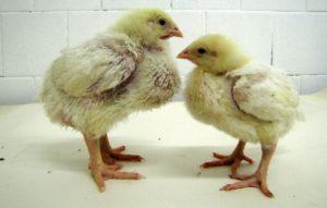 Диспепсия у цыплят