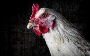 Болезни куриц