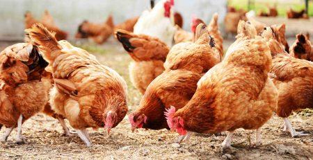 Антибиотик для куриц
